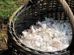 خواص شگفت انگیز روغن یاسمن (Jasmine Oil) | 11 خاصیت روغن یاسمین | طب سنتی